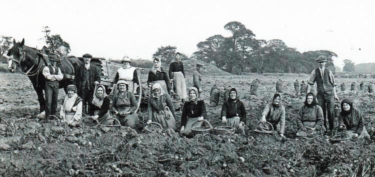 Postcard of Mount Farm c 1920's Potato Picking