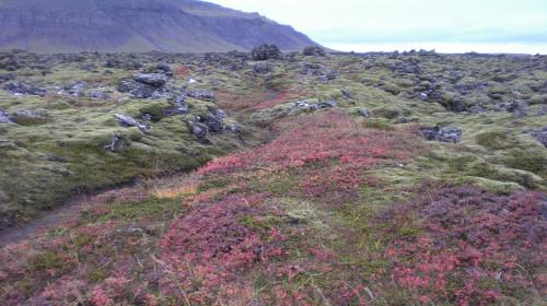 Berserkers' path in the Berserkjahraun lava field – look: no trees!  Photo: Michael Ridpath's old phone